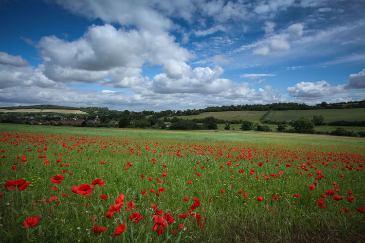 Kent Landscape Agriculture Beauty In Nature Blue Cloud - Sky Crop  Field Flower Flower Head Flowerbed Fragility Growth In Bloom Kent Landscape Nature Plant Poppies  Poppy Red Rural Scene Scenics Sky Summer Uncultivated Vitality
