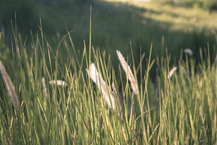 The fields Agriculture Beauty In Nature Cereal Plant Close-up Crop  Day Ear Of Wheat Field Grass Growth Nature No People Outdoors Plant Rural Scene Wheat