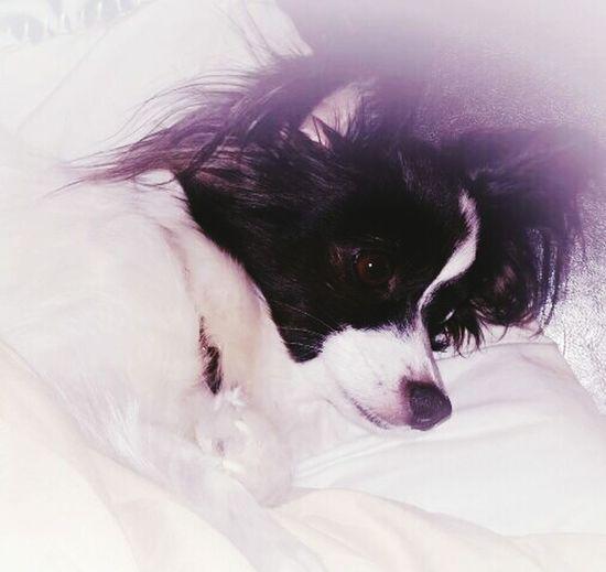 Ilovemydog Dogslife Papillion, Dog, Cute, Precious, Furry