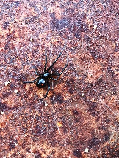 A Black Widow Spider at home Spider Backgrounds Day Insect Full Frame Animals In The Wild No People Outdoors Close-up Nature