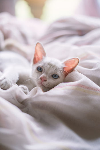 Animal Animal Head  Animal Themes Bed Cat Domestic Domestic Animals Domestic Cat Duvet Feline Furniture Indoors  Kitten Linen Looking At Camera Lying Down Mammal No People One Animal Pets Portrait Relaxation Sheet Textile Whisker