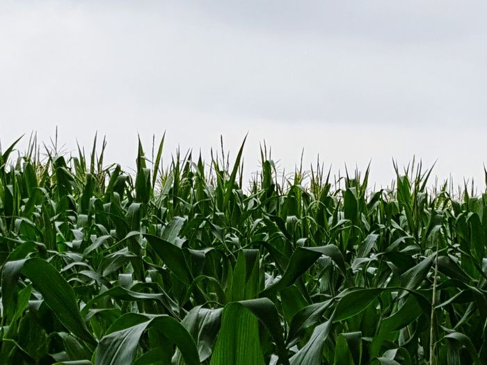Growth Farm Nature Agriculture Plant Field Outdoors Rural Scene Beauty In Nature Landscape Crop  Corn Field Of Maize Maize Field Maize Maize Plant