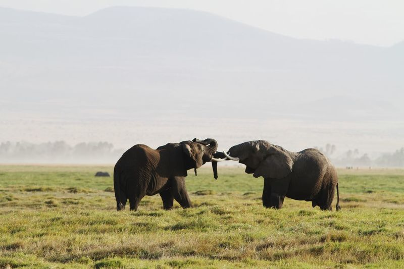 Elephants fighting on grass against sky