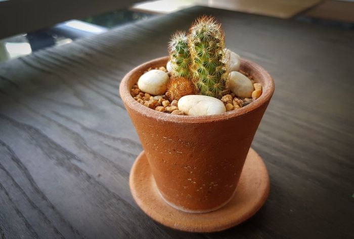 Green Botanic Cactus In A Pot Placed On A Wooden Table Cactus Plants Decoration Decorative Cactus Houseplant Interior Mini Cactus In Small Pot Object Selective Focus Space Succulent Tropical