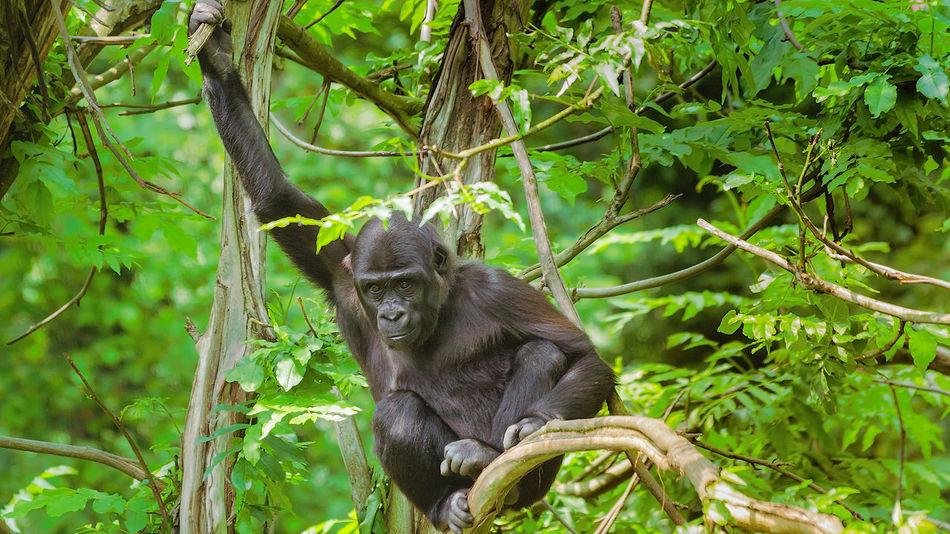 Young chimpanzee at Gaia-Zoo, Kerkrade, Netherlands. EyeEm Nature Lover EyeEmNewHere Animal Themes Animal Wildlife Ape Beauty In Nature Chimpanzee Monkey Nature Primate Young Animal EyeEmNewHere
