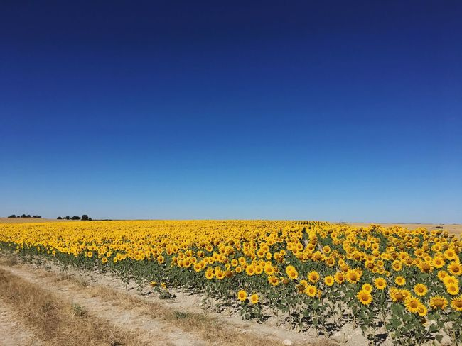 Paint The Town Yellow Flower Field Yellow Nature Agriculture Beauty In Nature Copy Space Blue Clear Sky Growth Tranquil Scene Crop  Farm Tranquility Landscape Rural Scene EyeEm Gallery Eyeem Market EyeEmBestPics Cultivated Land Eyeemphotography Eye4photography  EyeEm EyeEm Best Shots