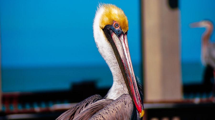 Close-up portrait of pelican