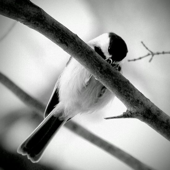 Wildlife Black And White Bird Chicadee Massachusetts Rural Rural Scene New England  Cute