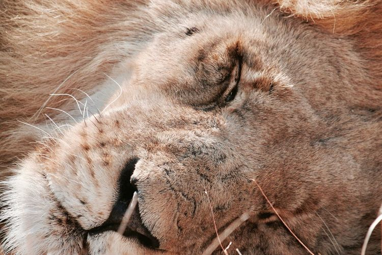 Lion Animal Animal Themes Mammal No People One Animal Animals In The Wild Animal Body Part Animal Wildlife Close-up Relaxation Land Nature