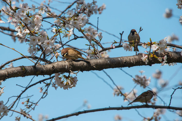 A Calm Day Cherry Blossoms Sparrow And Cherry Blossoms Spring Has Come! Spring Sparrow Birds Sparrows Three