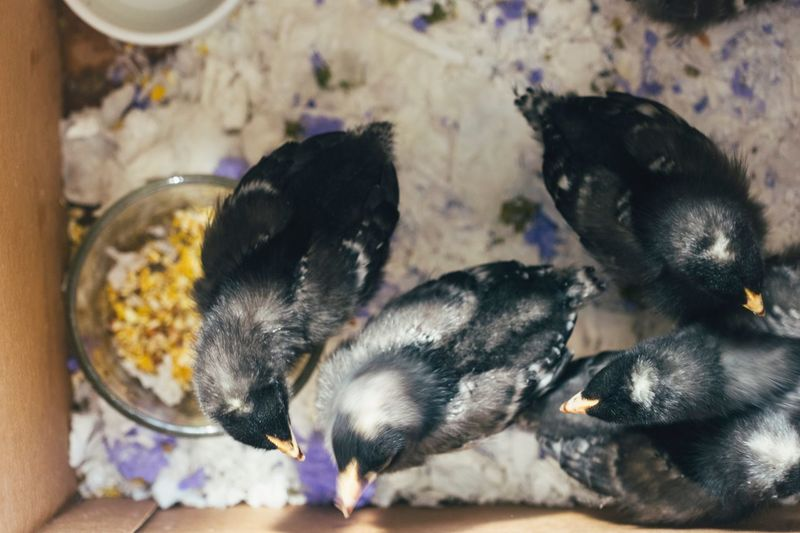 Close-Up Of Young Birds In Box