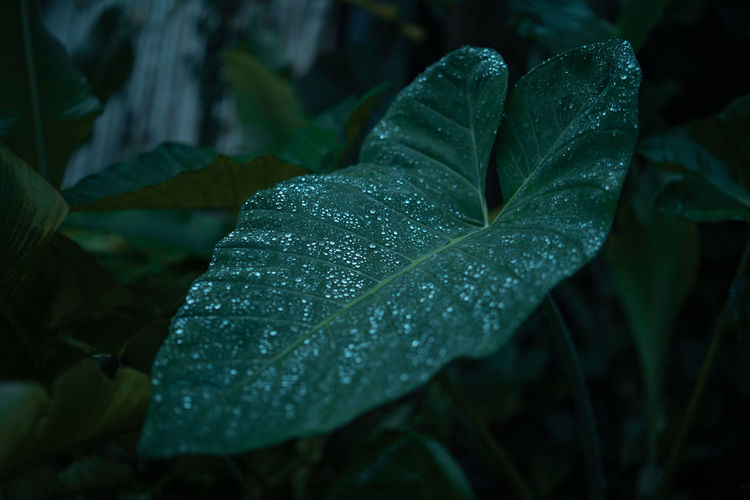 Leaf Plant Part Drop Plant Wet Growth Close-up Nature Water Focus On Foreground Beauty In Nature No People Green Color Rain Day Land Outdoors RainDrop Dew Leaves Rainy Season Purity