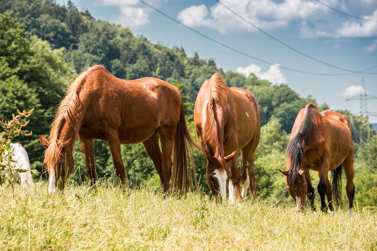 Horses on the green meadow Agriculture Animal Animal Themes Animal Wildlife Brown Day Domestic Domestic Animals Field Grass Grazing Group Of Animals Herbivorous Land Livestock Mammal Nature No People Outdoors Pets Plant Vertebrate