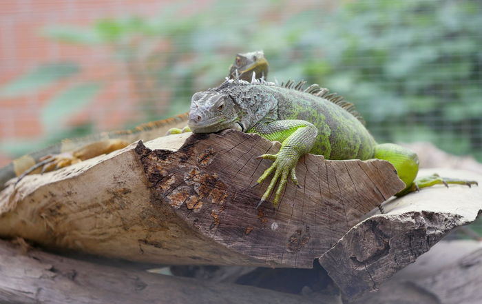 Iguana Animals Beautiful Blurred Background Claws Leguan Lizard No People Reptile Tree Trunk Animal Themes Taking Photos Animal Body Part Claw Perspective From My Point Of View