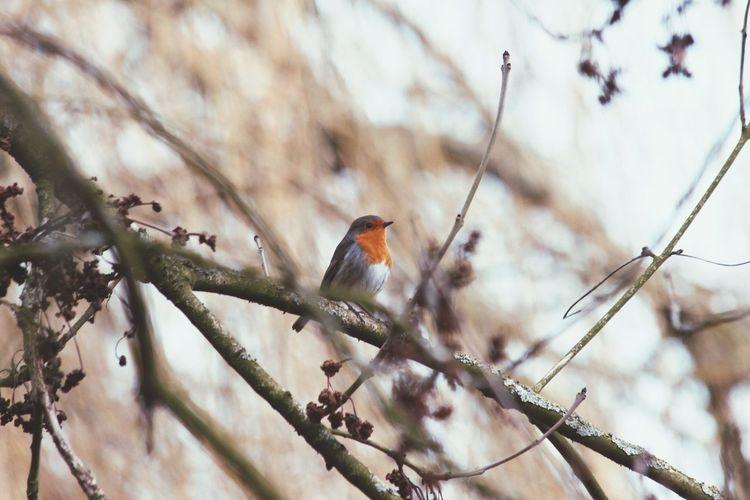 Cute robin Robin Bird Nature