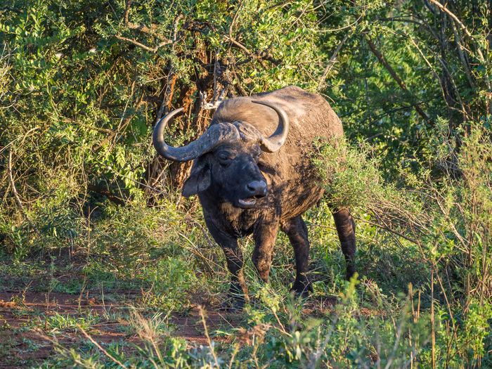 Buffalo Animal Themes Animal Wildlife Animals In The Wild Beauty In Nature Day Grass Mammal Nature No People One Animal Outdoors Safari Animals Standing Tree