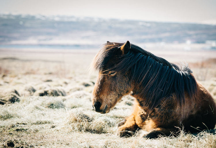 Animal Mammal Animal Themes Animal Wildlife One Animal Domestic Animals Horse Animals In The Wild No People Vertebrate Livestock Day Nature Pets Mane Domestic Environment Landscape Land Focus On Foreground Outdoors Profile View Animal Head  Herbivorous Iceland