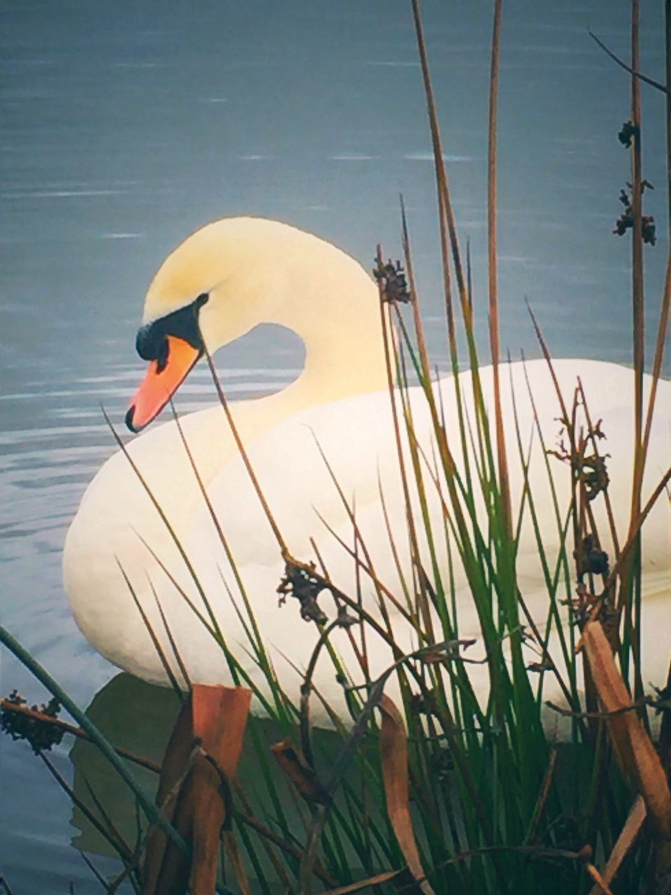 one animal, lake, animal themes, water, animals in the wild, nature, no people, bird, day, outdoors, animal wildlife, beauty in nature, swimming, close-up, swan