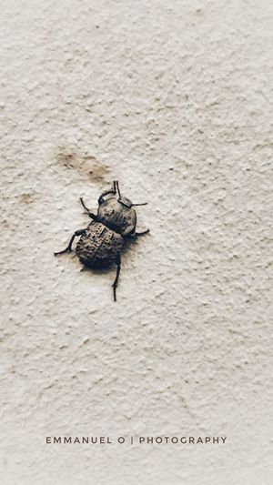 scarab on the rise Scarab scarabé beetle insect nature beetle beauty in Nature Urban nature insect congolese wallpaper Wall climbing climbing wall rise Up Close Street Photography Abstract Abstract Photography Scarab Scarabé Beetle Insect Nature Beetle Beauty In Nature Urban Nature Insect Congolese Wallpaper Wall Climbing Climbing Wall Rise Up EyeEm Selects Beach Sea Sand Reptile Water Bug Moving Around Rome Stories From The City Go Higher This Is Queer Inner Power The Troublemakers The Still Life Photographer - 2018 EyeEm Awards The Traveler - 2018 EyeEm Awards The Great Outdoors - 2018 EyeEm Awards The Architect - 2018 EyeEm Awards