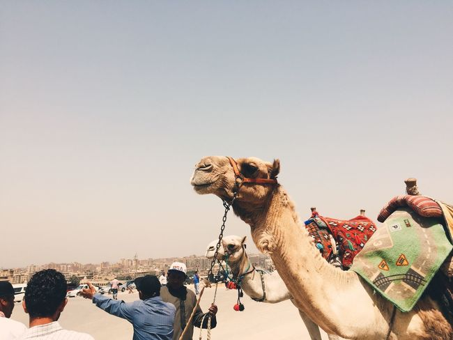 Camel Clear Sky Nature Sky Copy Space Land The Traveler - 2018 EyeEm Awards Group Of People Large Group Of People Crowd Real People Desert Lifestyles Mammal Sunlight Outdoors Sand Day