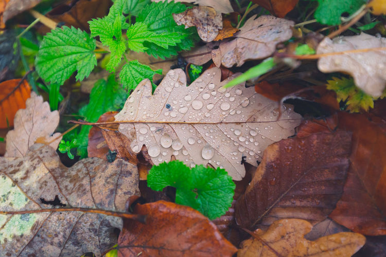 High angle view of wet maple leaves