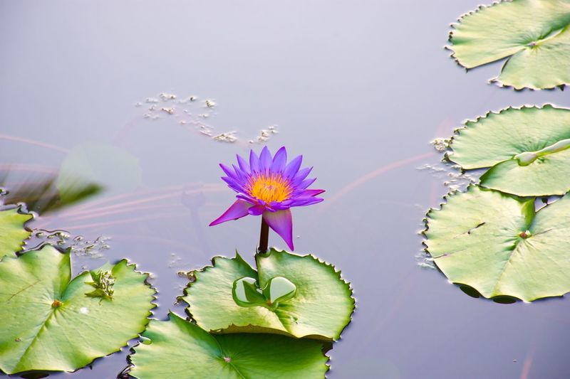 Plant Freshness Flower Flowering Plant Growth Beauty In Nature Fragility Vulnerability  Leaf Water Lily Close-up Plant Part Flower Head Water Pink Color No People Lake Petal