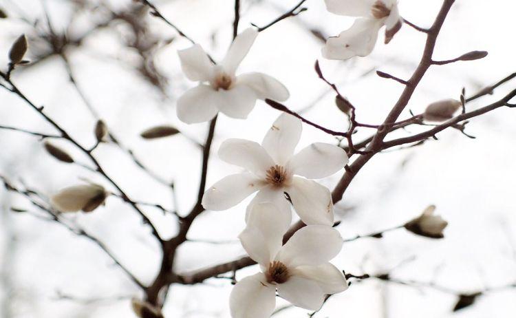 コブシだかハクモクレンだかわからないけど、やっと咲いたので Oldlens の Carl Zeiss Jena Sonnar を使って撮りました。 Nature Flower EyeEm