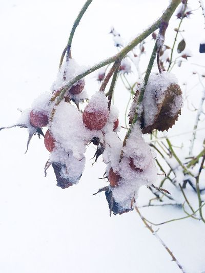 Rose Hip Berry Snow Winter Cold Temperature Nature Red Frozen No People Outdoors Beauty In Nature Close-up Berries Branch Cold Covered In Snow Covered Dog Rose Briar Bush