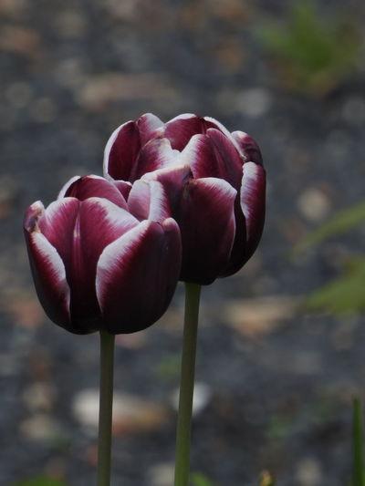 Tulpen Tulip Flower Head Flower Red Tulip Pink Color Springtime Petal Peony  Close-up Plant