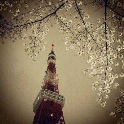 雨 東京タワー 桜
