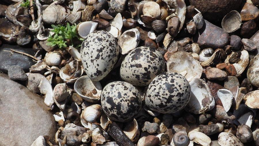 High angle view of shells on pebbles