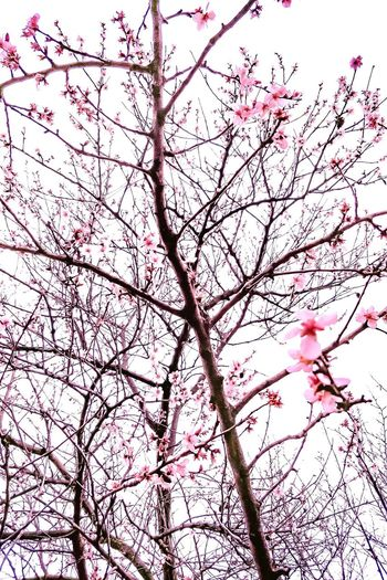 Cherry blossom EyeEmNewHere Flower Branch Tree Backgrounds Springtime Pink Color Blossom Full Frame Sky Cherry Blossom Petal Pink Cherry Tree Pollen Plant Life Twig In Bloom Flower Head Flower Tree Blooming