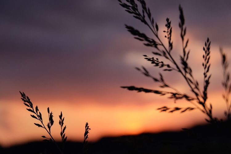 Silhouette of reed grass against sky at sunset