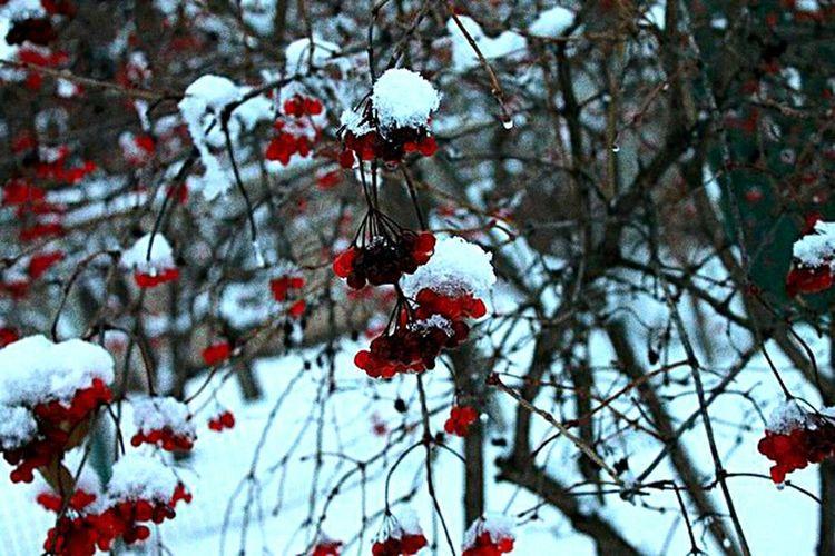 Macro Winter Snow Nature Red