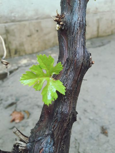 Grape Vine Twig Leaf Rainy Season No People Wood - Material Nature Freshness Pink Color Close-up