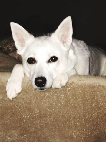 Pets One Animal Domestic Animals Animal Themes Looking At Camera Dog Portrait No People Close-up Indoors  Eskimo Dog