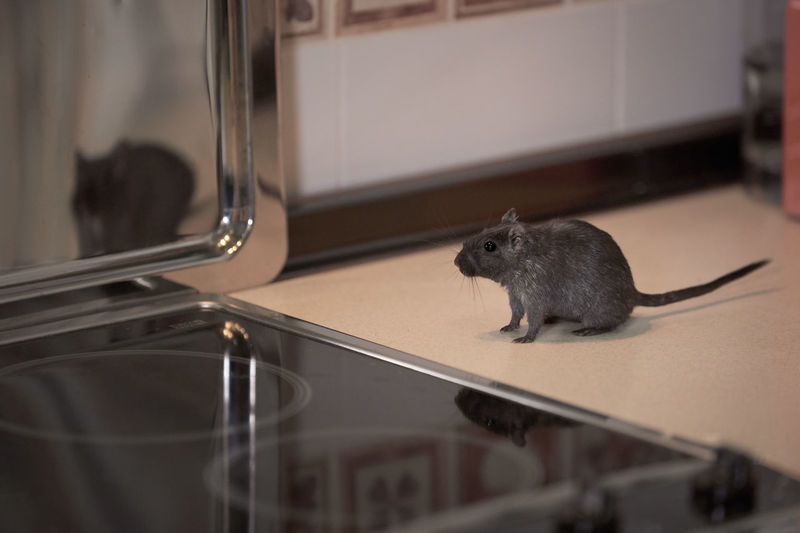Quiet rodent