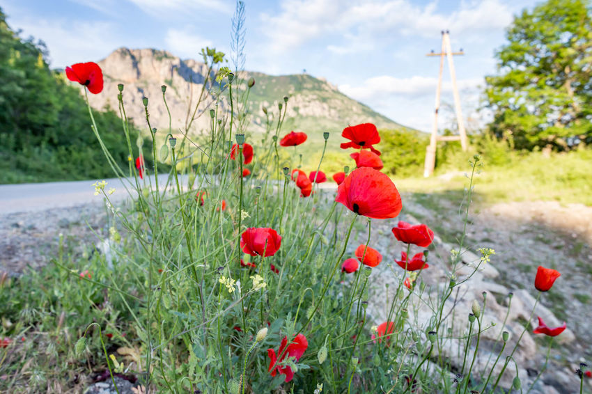 Beauty In Nature Close-up Day Field Flower Flowering Plant Focus On Foreground Food Fragility Freshness Fruit Growth Land Nature No People Outdoors Plant Poppy Red Sky Vulnerability