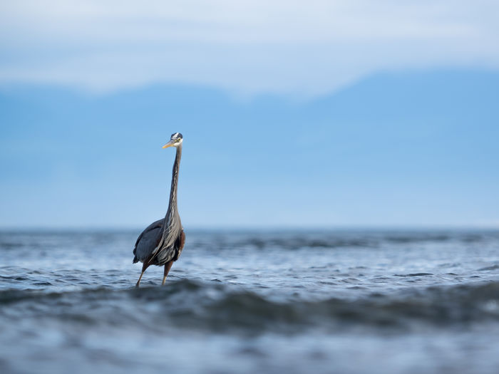 Gray heron standing in sea against blue sky