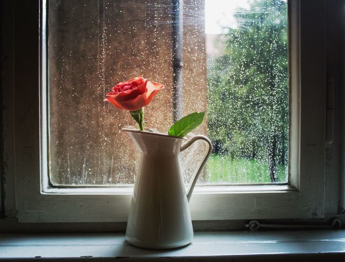 Rose In Jug On Window Sill