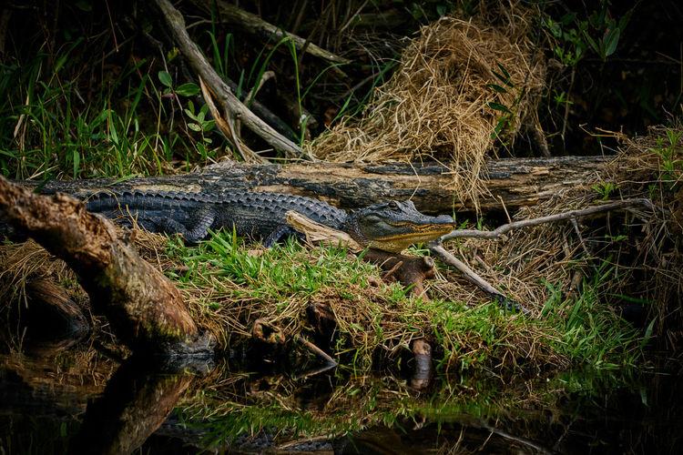 Close-up of crocodile in grass