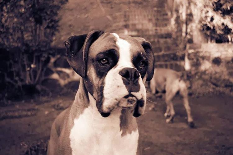 Jet Boxer Dogs A Dogs Life Perros  Ilovemyboxer