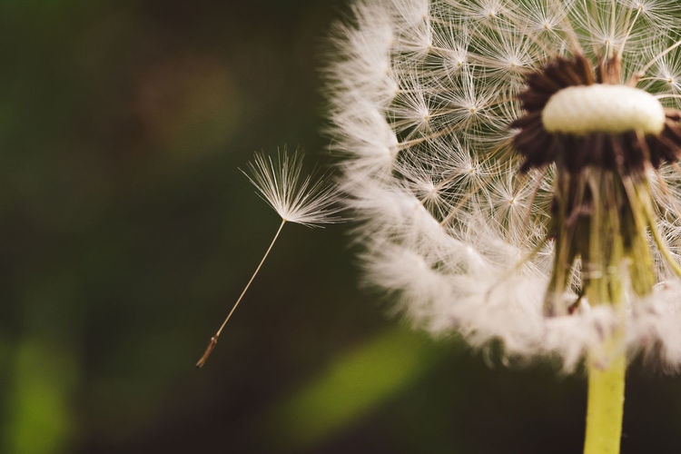 Flowers Vulnerability  Fragility Close-up Dandelion Flower Flowering Plant Plant Softness Focus On Foreground Beauty In Nature Dandelion Seed Selective Focus No People Nature Growth Freshness White Color Day Flower Head Inflorescence Outdoors Lightweight