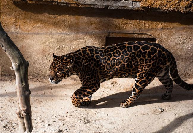 Jaguar Animal Animal Themes Animals In The Wild Carnivore Cat Dangerous Animals Day Endangered Animals Hunter JAGUAR Leopard Mammal No People One Animal Outdoors Outside Predator Safari Animals Safari Park SPAIN Undomesticated Walking Wild Wildlife Zoo