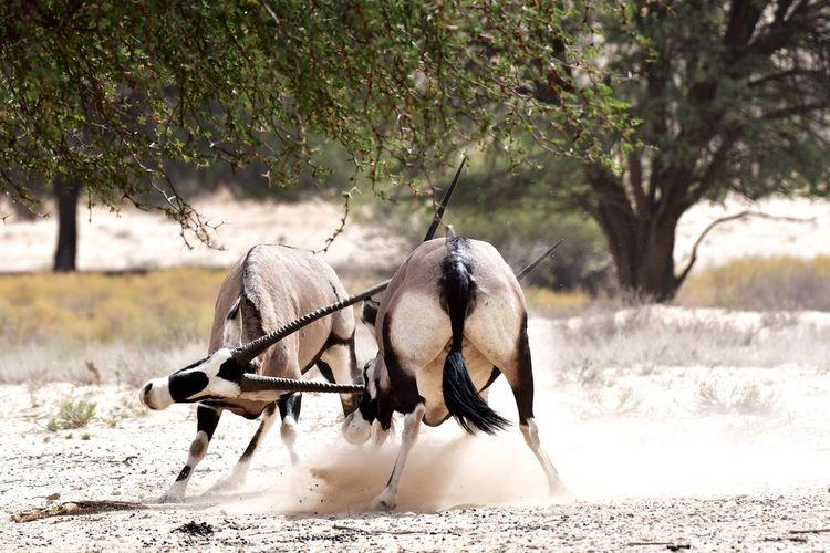 Oryx fighting on dirt field in forest