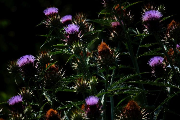 Beauty In Nature Blooming Blossom Botany Cardoon Close-up Flower Flower Head Focus On Foreground Fragility Freshness Green Color Growing Growth In Bloom Nature No People Outdoors Petal Pink Color Plant Purple Selective Focus Softness Stem