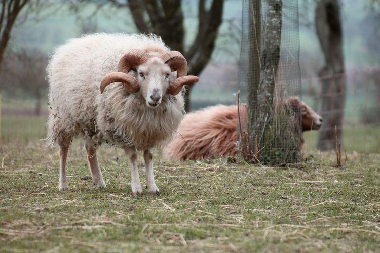 Sheep On Grassy Field
