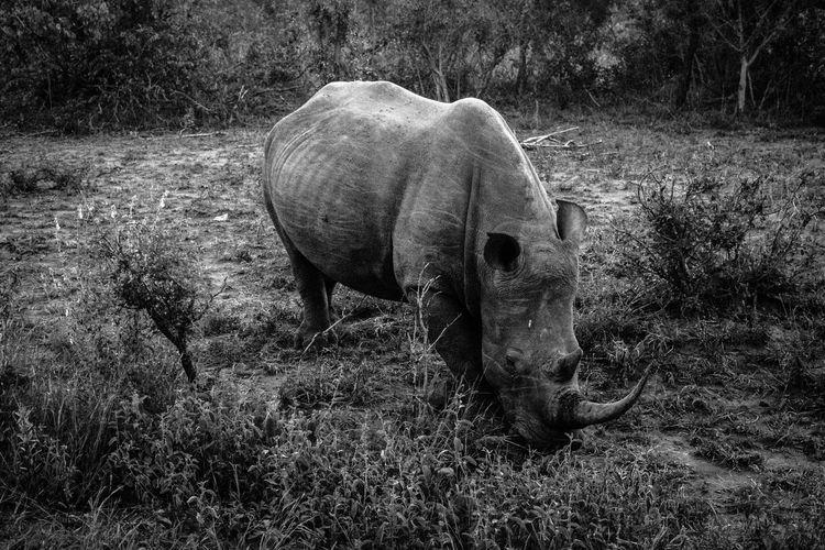 Rhinoceros grazing on field