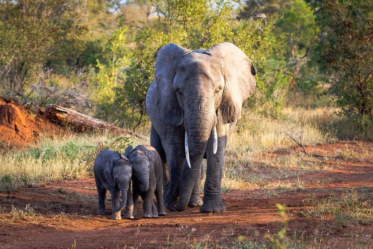 Elephant walking with calves in forest