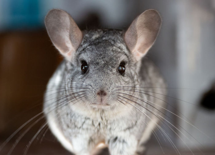 Mammal One Animal Pets Domestic Focus On Foreground Close-up Domestic Animals No People Animal Wildlife Whisker Animal Animal Themes Portrait Indoors  Animal Body Part Looking At Camera Rodent Day Rabbit - Animal Animal Head  Animal Eye Herbivorous Chinchilla Chinchillalove